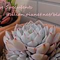 Echeveria mexensis 'Zalagosa' / 野玫塊之精 / 野ばらの精