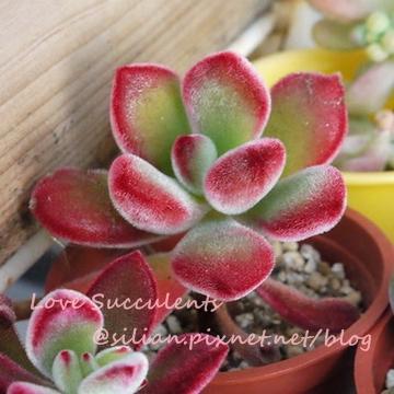 Echeveria pulvinata / 錦晃星 / キンコウセイ / 寒月