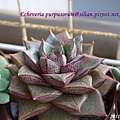 Echeveria purpusorum / 大和錦