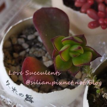 Echeveria spectabilis / 久米舞