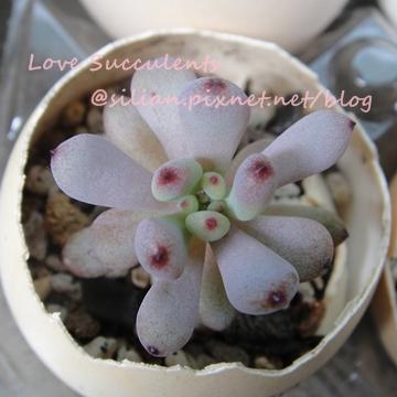 Graptopetalum pachyphyllum / パキフィルム / ミクロカリックス / ブルービーンズ