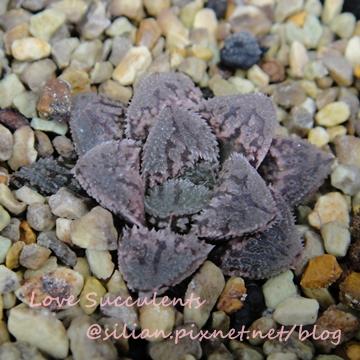 Haworthia hybrid 'Kurozato' / 黑砂糖