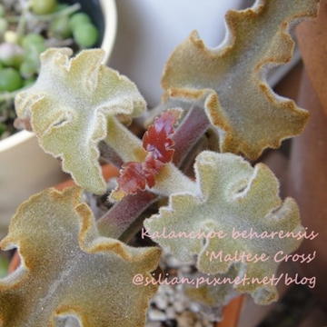 Kalanchoe beharensis 'Maltese Cross' / 仙女之舞 / 仙女の舞