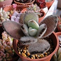 Kalanchoe tomentosa f. 'DARUMA' / 達磨月兔耳 / ダルマ月兔耳