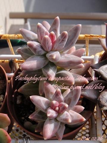 Pachyphytum compactum 'Glaucum' / グラウクム