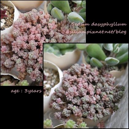 Sedum dasyphyllum / 姫星美人 / ひめほしびじん