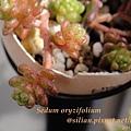 Sedum oryzifolium / 大唐米 / タイトゴメ