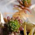 Sedum oryzifolium f. pumilum / ステップストーン / オカタイトゴメ