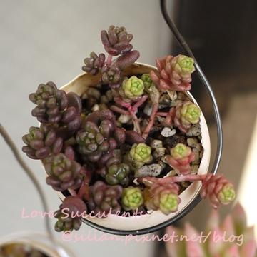 Sedum album & Sedum oryzifolium / ビックアルブム & 大唐米