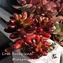 Sedum rubrotinctum / 虹之玉 / 虹の玉