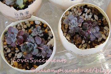 Sedum spathulifolium & Sedum spathulifolium 'Purpureum' / ケープブランコ 白雪みせばや & スパスリフォリウム 赤葉ミセバヤ