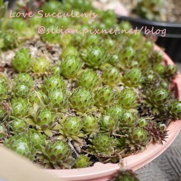 Sempervivum arachnoideum / 卷絹