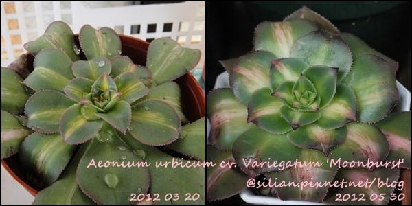 Aeonium urbicum cv. Variegatum 'Moonburst' / 曝月 / ムーンバースト
