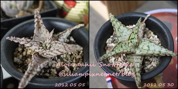 Aloe rauhii 'Snowflake' / 雪白蘆薈 / スノーフレーク