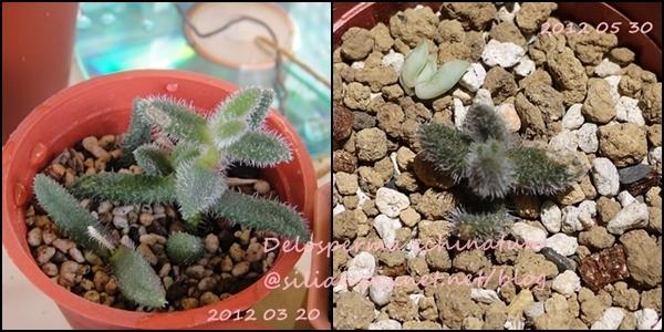 Delosperma echinatum / 雷童(らいどう) / 花笠 / 三笠