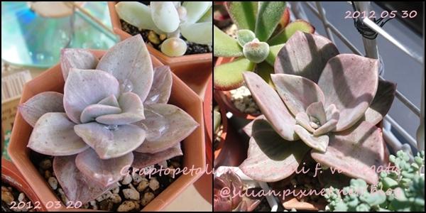 Graptopetalum bainesii f. variegata / 大盃宴縞斑 / 銀風車(バイネシー錦)