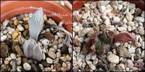 Haworthia hybrid 'Mirrorball' / 鏡球 / ミラーボール