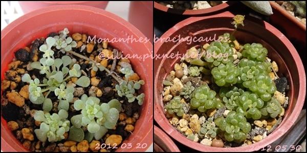 Monanthes brachycaulos / 摩南景天 / ブラキカウロン