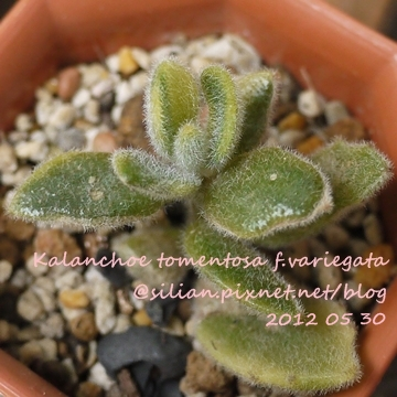 Kalanchoe tomentosa f.variegata / 月兔耳錦 / 月兎耳錦(覆輪)