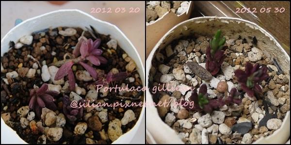 Portulaca gilliesii / 小松葉牡丹 / 紫糯米 / 紫米飯 / ポーチュラカ ギリエシー / 流星ポーチュラカ