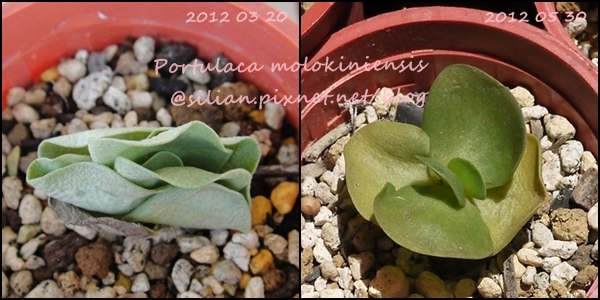 Portulaca molokiniensis / 雲葉 / ポーチュラカ・モロキネンシス