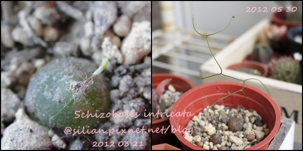 Schizobasis intricata / 髮葉蒼角殿 / イントリカータ