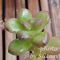 Sedum lucidum / 圓葉松之綠 / 丸葉松の緑