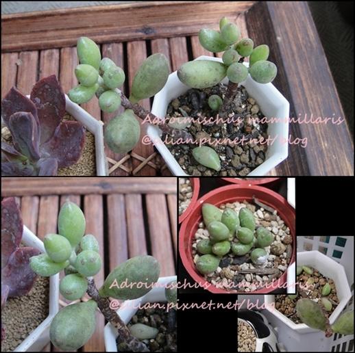 Adroimischus mammillaris / 綠之卵 / 緑の卵 / みどりのたまご