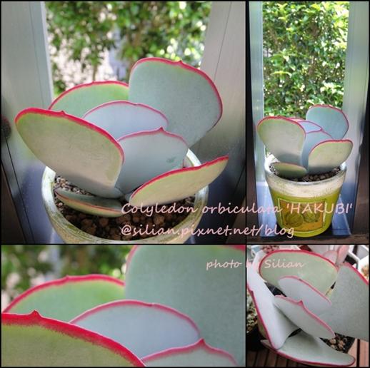 Colyledon orbiculata 'Hakubi' / コチレドン 白眉