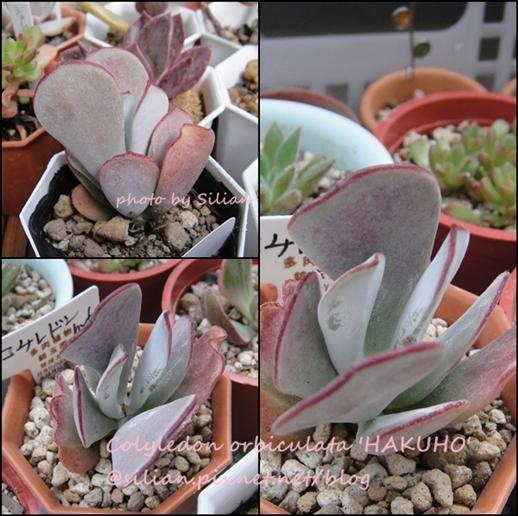 Colyledon orbiculata 'Hakuho' / コチレドン 白鳳