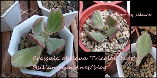 Crassula obliqua 'Tricolor Jade' / 花月錦白斑 / かげつにし-しろふ
