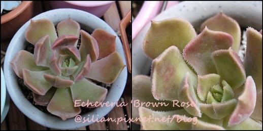 Echeveria 'Brown Rose' / 布朗玫瑰 / 褐玫瑰 / ブラウンローズ