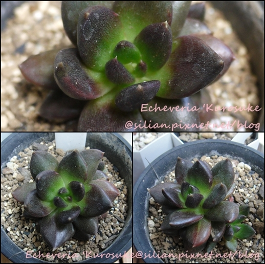 Echeveria 'Kurosuke' / Echeveria 'Black Prince / 黑助 / 黒助