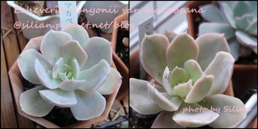 Echeveria runyonii var. macabeana / マカベアナ / マカベアーナ