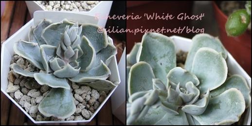 Echeveria 'White Ghost' / 白幽靈 / 白鬼 / ホワイトゴースト