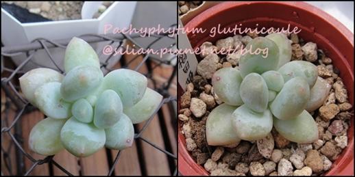 Pachyphytum glutinicaule / 稻田姫 / フレーヌ / 稲田姫