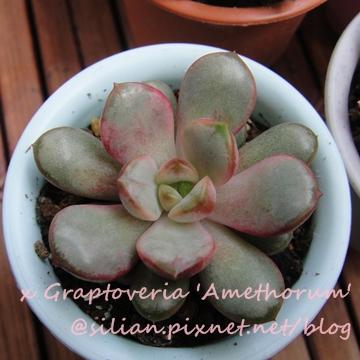 Graptoveria 'Amethorum' / 紅葡萄 / アメトルム