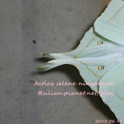Actias selene ningpoana 長尾水青蛾