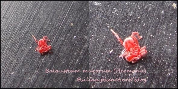 Balaustium murorum (HERMANN)