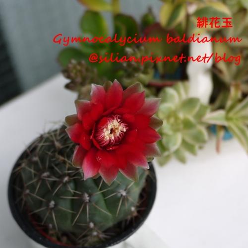 Gymnocalycium baldianum 20120617 150239