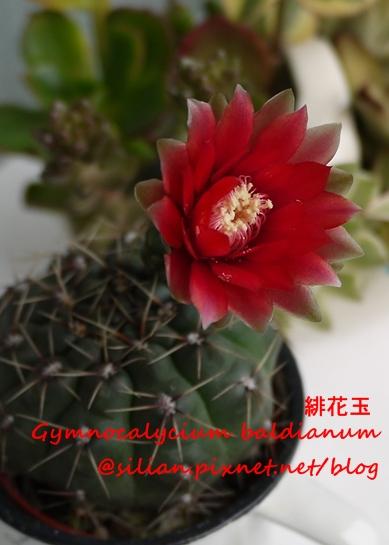 Gymnocalycium baldianum 20120617 150316