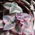 Crassula pellucida ssp marginalis 'Variegata' / 粉紅十字錦 / ペルシダ / 江戸小町錦 / マルギナリス