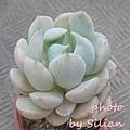 Sedeveria 'Spring Jade' / Echeveria 'GUNGEKKAN' / 群月冠(ぐんげつかん) / スプリングジェイド / グリーンローズ