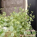 Peperomia Ruiz Pav. / ペペロミア 斑入り 真亜子
