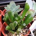 Crassula ovata 'Gollum' / Crassula portulacea 'Gollum' / 筒狀花月 / 史瑞克耳朵 / ゴーラム / 宇宙の木