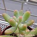 Sedum 'KOIGOKORO' / Sedum pachyphyllum 'Nejedly' ?? / 戀心 / 恋心 / こいごころ