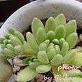 Sedum hirsutum ssp.baeticum Winklerii / Sedum winkleri / セダム バエチクム / ウィンクレリー / ウインクレリー