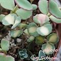 Sedum sieboldii variegatum / Hylotelephium sieboldii variegatum / 玉之緒錦 / 斑入りミセバヤ / 玉の尾 / 玉の緒