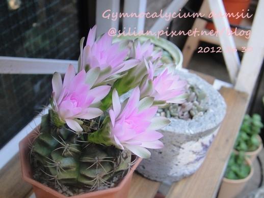 Gymnocalycium damsii / 麗蛇丸