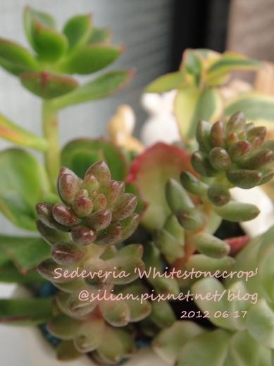 Sedeveria 'Whitestonecrop' / 白石 / ホワイトストーンクロップ